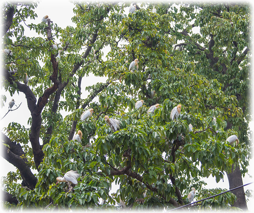 Green Imperial Pigeon, Ducula aenea
