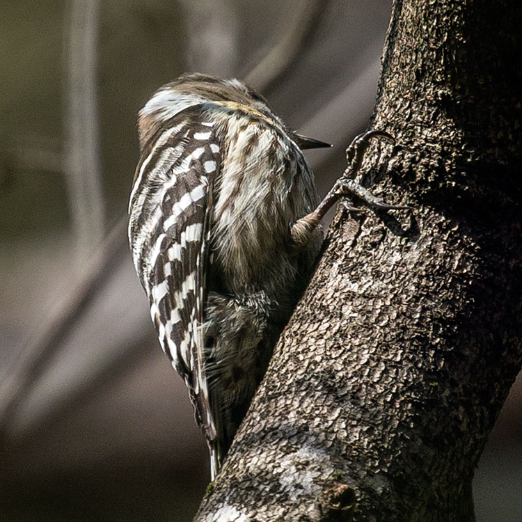 Japanese Pygmy Woodpecker or Pygmy Woodpecker, Yungipicus kizuki, コゲラ