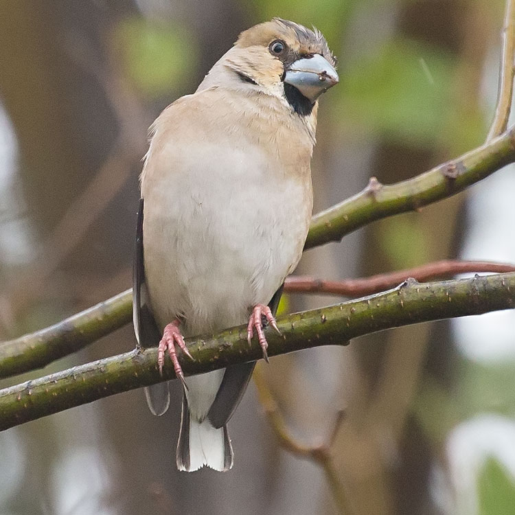 Hawfinch, Coccothraustes coccothraustes, シメ, Stenknäck