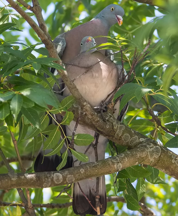 Common Wood Pigeon, Columba palumbus, Ringduva