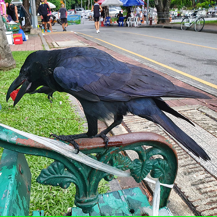 Large-billed crow, thick-billed crow, Jungle crow, Corvus macrorhynchos, ハシブトガラス, Corvus macrorhynchos japonensis, อีกา