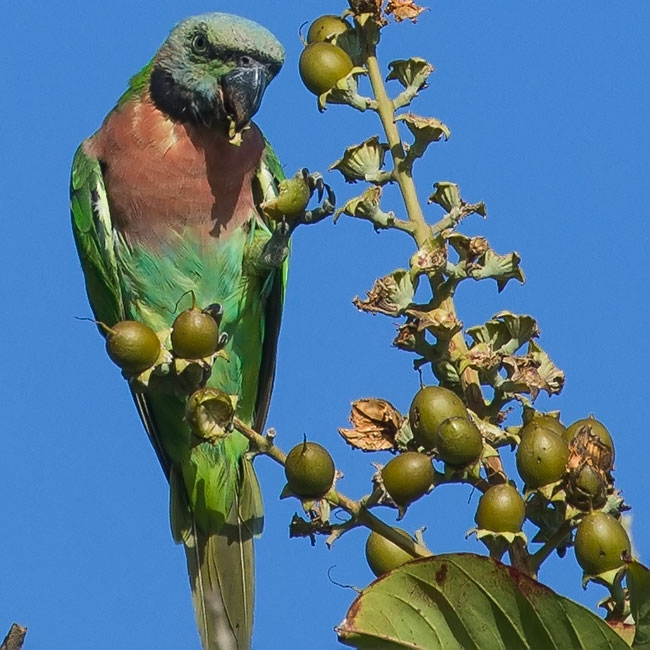 Red-breasted Parakeet, Psittacula alexandri, นกแขกเต้า