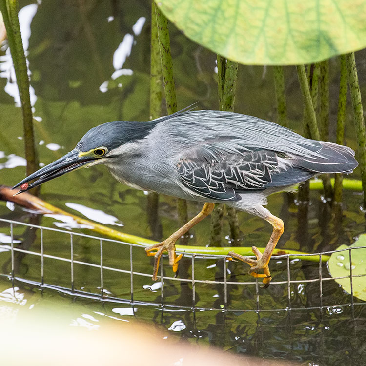 Striated Heron, Little heron, Butorides striata, นกยางเขียว