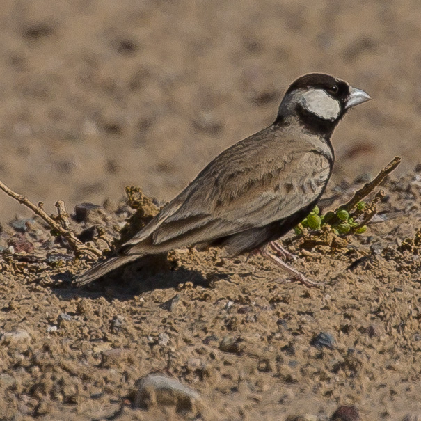 Black-crowned Sparrow-lark, Eremopterix nigriceps
