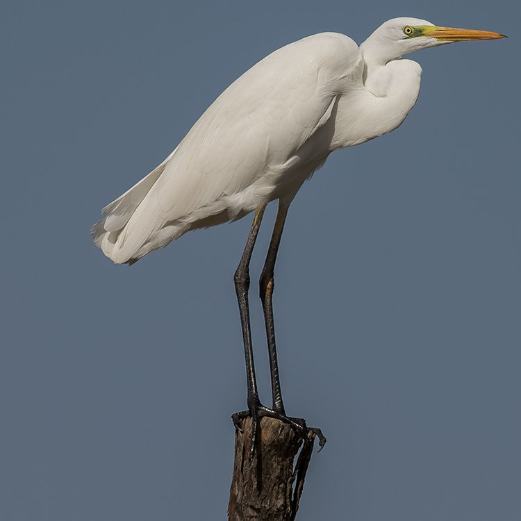Great Egret, Great White Heron, Ardea alba