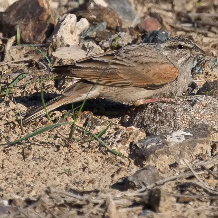 Striolated Bunting, Emberiza striolata