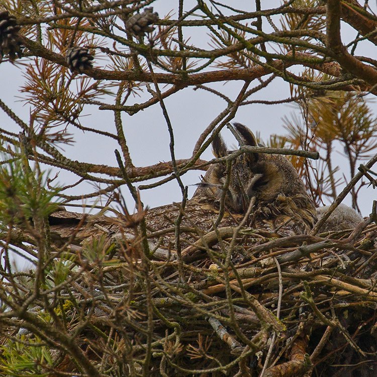 Long-eared Owl, Asio otus, Hornuggla