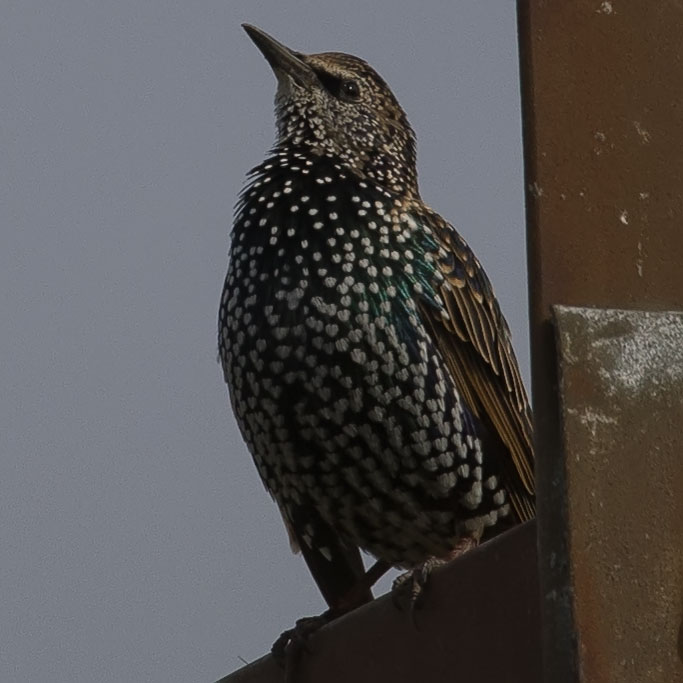 Common Starling, Sturnus vulgaris, Stare