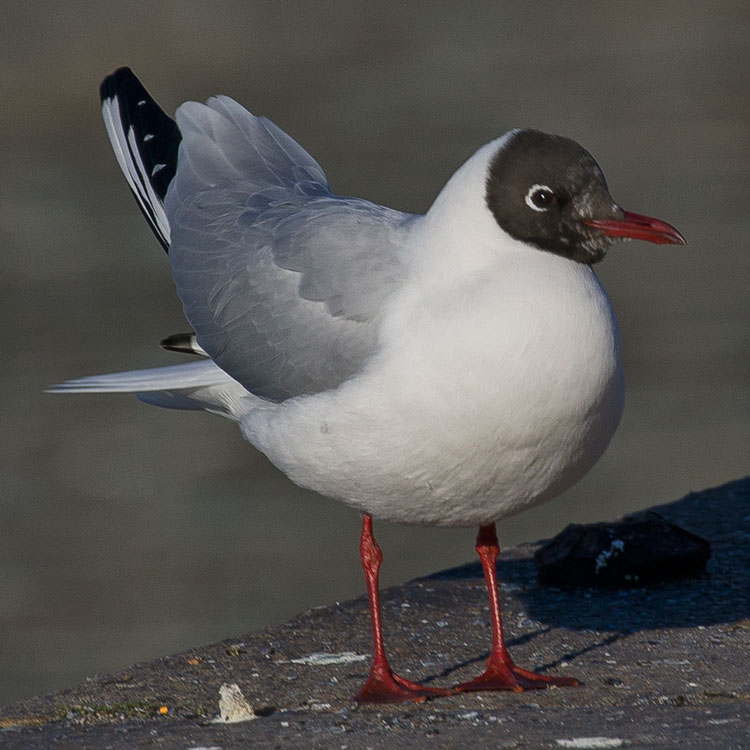 Black-headed gull, Chroicocephalus ridibundus, Skrattmås