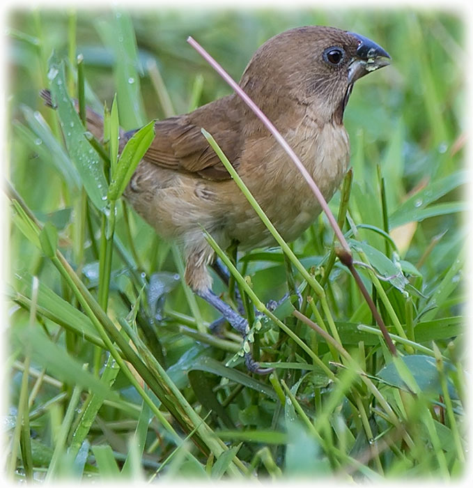 Scaly-breasted Munia, Lonchura punctulata, นกกระติ๊ดขี้หมู, Spotted Munia