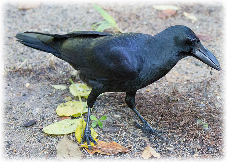 Slender-billed crow, Corvus enca