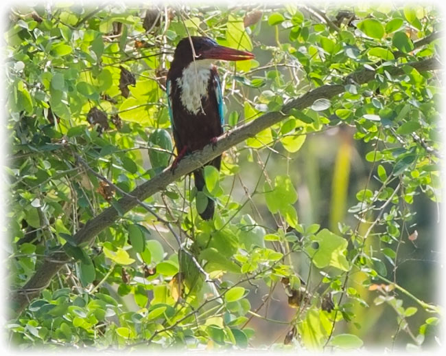 White-throated Kingfisher, White-breasted Kingfisher, Halcyon smyrnensis, นกกะเต็นอกขาว, นกกะเต็นอกขาว