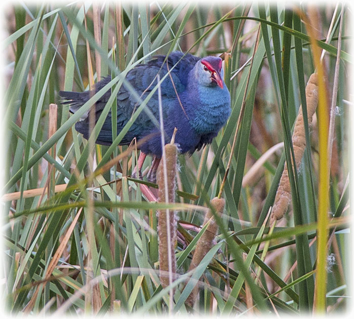 Grey-headed swamphen, Porphyrio poliocephalus, นกอีโก้ง