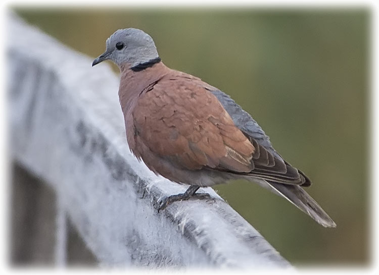 Red turtle dove, Streptopelia tranquebarica, นกเขาไฟ