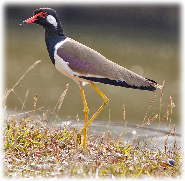 Red-wattled Lapwing, นกกระแตแต้แว้ด, Vanellus indicus