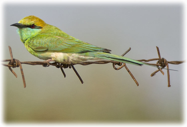 Green Bee-eater, Little Green Bee-eater, Merops orientalis, นกจาบคาเล็ก