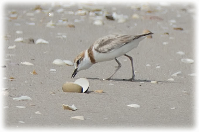 Greater Sand Plover, Charadrius leschenaultii, นกหัวโตทรายใหญ่