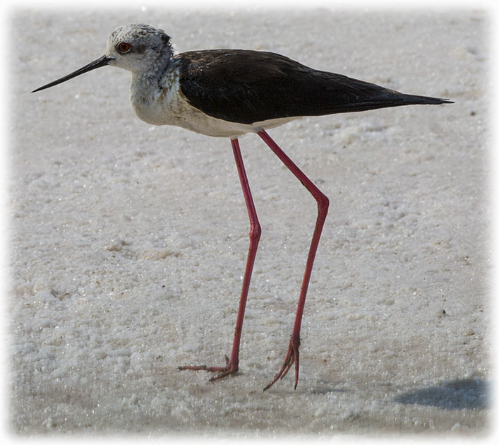 Black-winged Stilt, Himantopus himantopus, นกตีนเทียน