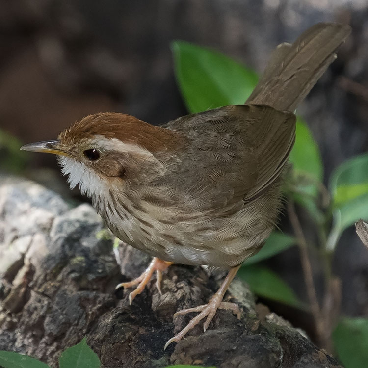Puff-throated Babbler or Spotted Babbler, Pellorneum ruficeps, นกจาบดินอกลาย