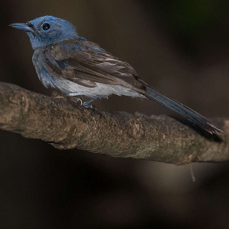 Black-naped Monarch or Black-naped Blue Flycatcher, Hypothymis azurea, นกจับแมลงจุกดำ