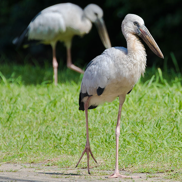 Asian Openbill Stork, Anastomus oscitans, นกปากห่าง