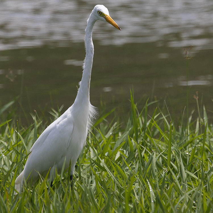 Intermediate Egret, Median Egret, Smaller Egret, or Yellow-billed Egret, Ardea intermedia, チュウサギ, นกยางโทนน้อย