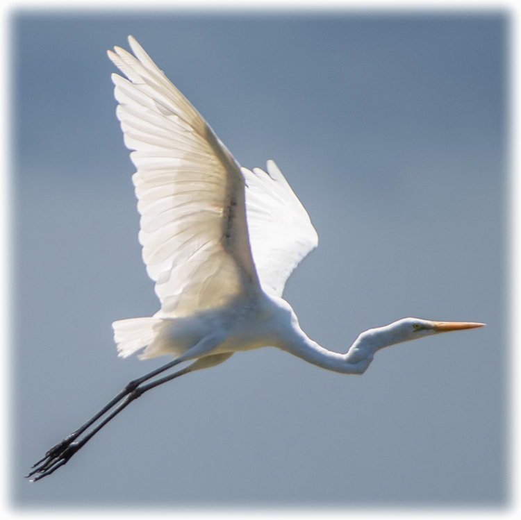 Great Egret / Great White Heron