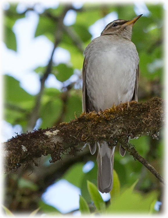 Grey-sided Thrush, Turdus feae