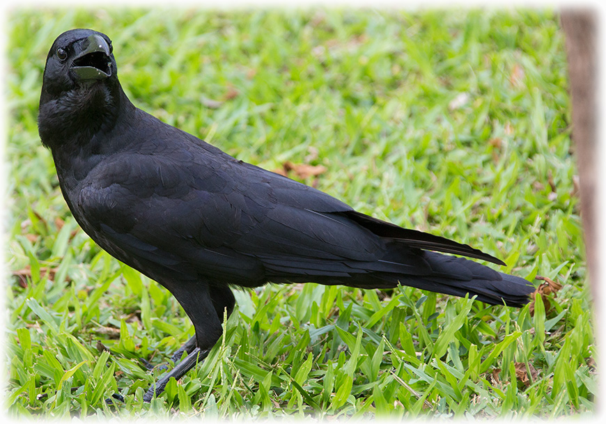 Eastern Jungle Crow, Corvus levaillantii, อีกา