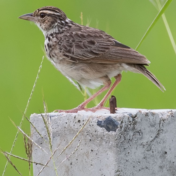 Indochinese Bush Lark, Mirafra erythrocephala, Indochinese lark, นกจาบฝนปีกแดง