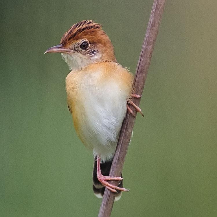 Golden-headed Cisticola, Cisticola exilis, Bright-capped Cisticola, นกยอดข้าวหางแพนหัวแดง