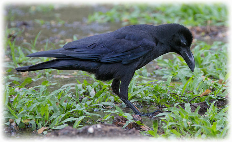 Jungle crow, Corvus macrorhynchos, large-billed crow, thick-billed crow, อีกา