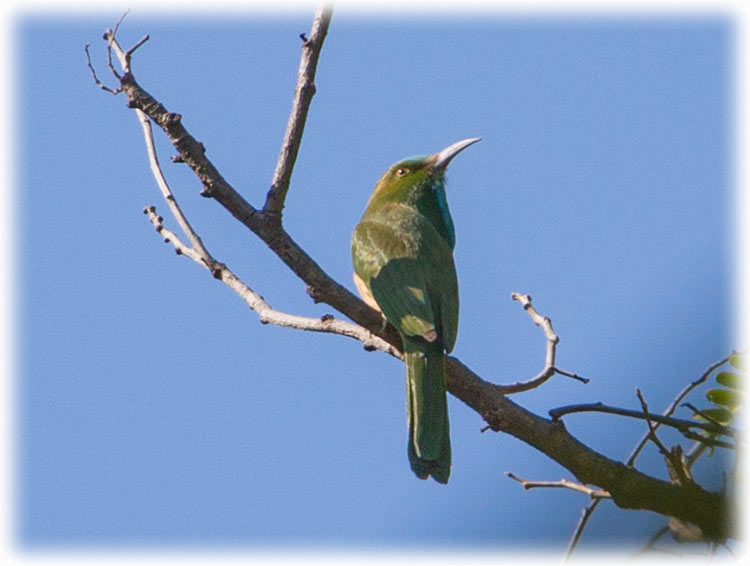 Blue-bearded bee-eater, Nyctyornis athertoni